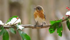 Eastern Bluebird Stock Footage