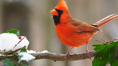 Northern Red Cardinal - stock footage