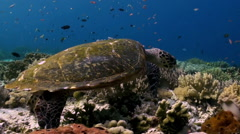 Sea turtle is swimming on reef in search of food. Stock Footage