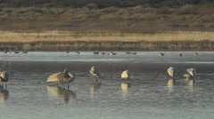Sandhill Cranes Preen in the Morning Light - stock footage