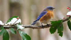 Eastern Bluebird Pair Stock Footage