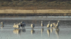 Sandhill Cranes Preen and Strut in Morning Light Stock Footage