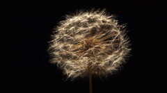 Close-up of dandelion spreading seed in ultra-slow motion against a black frame Stock Footage