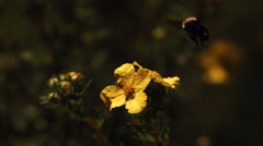 Bumblebee hovering in ultra-slow motion above a yellow flower Stock Footage