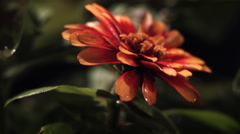 Ultra-slow motion rain falling on close-up zinnia Stock Footage