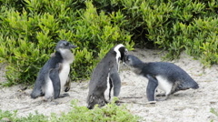 African Penguin (spheniscus demersus) in the wild in South Africa  Stock Footage
