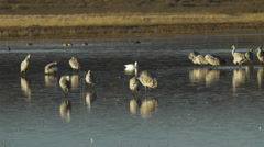 Snow goose Swims Among Resting Cranes Stock Footage