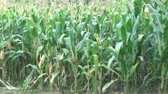 Green Corn field plantation Stock Footage