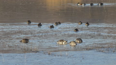 Pintails and Shovelers Dabble for Food in Shallow Pond Stock Footage