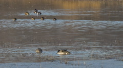 Three Pintail Ducks Dabble in the Golden light of Dawn Stock Footage