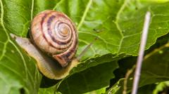 Snail Creeps On a Leaf close up - stock footage