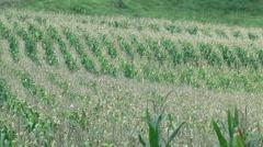 Green Corn field farm Stock Footage