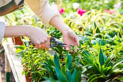 Hands of woman gardener trimming plants with pruning shears - stock photo