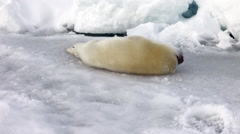 Cute Newborn Seal Pup On Ice Looking at the camera Stock Footage