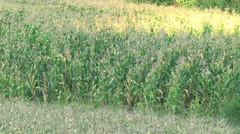 Green Corn field in sunny day Stock Footage