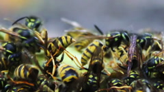 Wildlife swarm wasps eat rotten pear or apple on the ground - stock footage