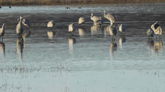 Sandhill Cranes Milling in Shallow Pond Amid Reflections Stock Footage