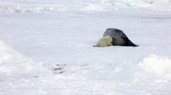 Newborn Seal Pup drink milk from mother's nipple. Stock Footage