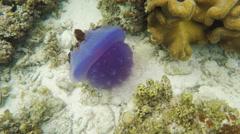 Beautiful jellyfish in tropical sea Stock Footage