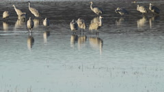 Shoveler Swims In Front of Group of Sandhill Cranes in Pond Stock Footage
