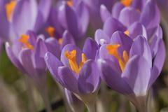 The crocus flowers closeup Stock Photos