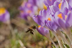 Closeup view of bee arriving to the crocus flower - stock photo