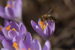 Closeup view of honeybee to a crocus flower - stock photo