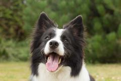 Border collie obey his master - stock photo