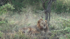 Male lion resting with playful cub Stock Footage