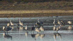 Sandhill Cranes Look for Danger in a shallow marsh Stock Footage