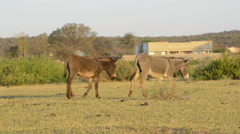 Donkey's roam freely through a rural village in Botswana Stock Footage