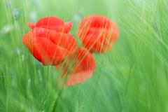 poppy flower and green grass spring season - stock photo