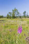 Stock Photo of Purple Foxglove in the wide moor landscape of the High Fens, Eifel, Belgium.