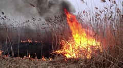 Cornfield dry reed burning in the early morning which was torched by unknown Stock Footage