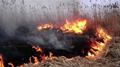 Cornfield dry reed burning in the early morning which was torched 03 Stock Footage