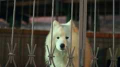 White dog barking behind a fence Stock Footage