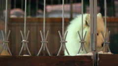 White dog sitting behind a fence Stock Footage