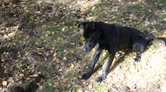 Black dog sniffs marks on the ground searching 111 Stock Footage