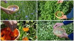 Hands gather cornflower mint marigold herb plants. Collage Stock Footage