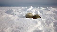 Newborn Seal Pup In Ice And Snow In Search Of Mom. Stock Footage