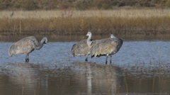 Close on Three Cranes Preening in the Shimmering Light Stock Footage