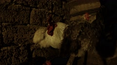 Stock Video Footage of Several Chickens Are Sitting in The Dark Under the wall of the chicken coop