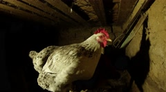 Several chickens are sitting in the dark under the roof of the chicken coop - stock footage