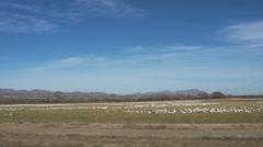 Wide of Flock of Snow Geese Circle Before Landing in Field Stock Footage