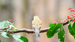 American Goldfinch - stock footage