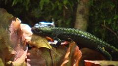 Salamander crawling through the undergrowth Close up - stock footage