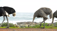 Ostrich in South Africa Stock Footage