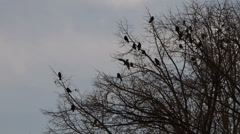 Black crows flock silhouette, sitting on tree branches - stock footage