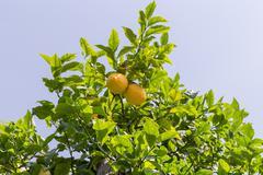 Lemon tree with fruit Kuvituskuvat