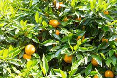 Bitter orange tree - stock photo